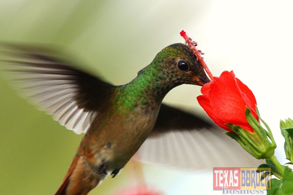 Join us at Quinta Mazatlan on Saturday, September 12th for a fun Hummingbird Celebration.  From 8 am to 1 pm the festival offers tours, talks, native plants and arts!  Come view the beautiful Buff-bellied Hummingbirds at our Turk's Caps at the beautiful historic mansion.